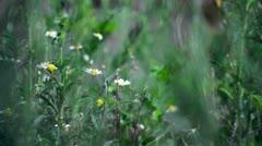 Chamomile field Stock Footage