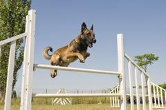 jumping malinois - stock photo