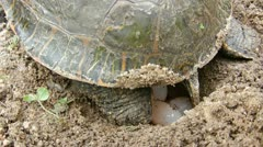 Painted Turtle Lays Eggs Stock Footage