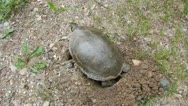 Painted Turtle Lays Eggs Stock Footage