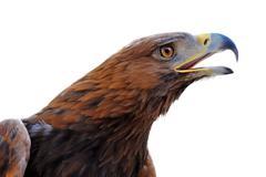 golden eagle ,aquila chrysaetos - stock photo