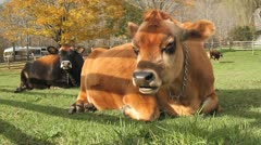 Two Cows Laying in a Field Stock Footage