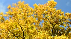Autumn Trees in the wind (Tilt/Shift)1 - stock footage