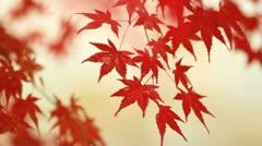 Autumn maple in the rainy weather. Stock Footage