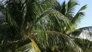 Coconut tree in the wind. the big plan. Stock Footage