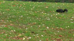 Black Squirrel in Canada - stock footage