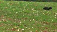 Black Squirrel in Canada Stock Footage