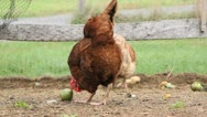 Stock Video Footage of Chicken Eating a Tomato