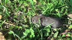 Bank vole (Clethrionomys glareolus)  on grass Stock Footage