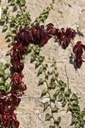 Green and red ivy on a stone wall Stock Photos