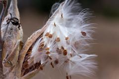 Wind blown seeds from milkweed plant in autumn Stock Photos