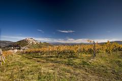 Vineyards in the Motovun area - stock photo