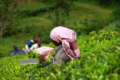 woman picking tea leaves in a tea plantation, munnar is best known as india's - stock photo