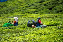 Stock Photo of woman picking tea leaves in a tea plantation, munnar is best known as india's
