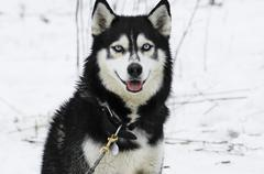 Stock Photo of siberian husky look toward