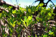Stock Photo of mangrove tree in havelock island in andamans, india.