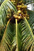 Stock Photo of palm tree and coconut in jungle.