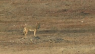 P02326 Coyote in Prairie Dog Town Trotting Stock Footage
