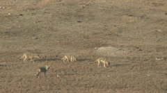 P02327 Coyote Family Walking in Prairie Dog Town Stock Footage