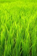 Green terraced rice field in havelock island, india. Stock Photos