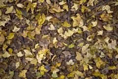 Yellow autumn leaves on the ground Stock Photos