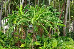 Stock Photo of green bananas