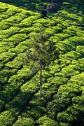 Landscape of green tea plantations. munnar, kerala, india Stock Photos