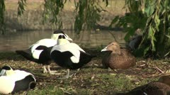 Eider ducks male and female on bank Stock Footage