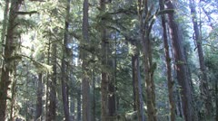 P02352 Pan of Pacific Northwest Old Grown Rain Forest Stock Footage