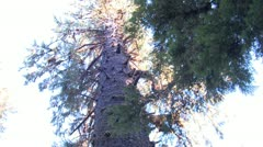 P02354 Giant Sitka Spruce Tree at Olympic National Park Stock Footage