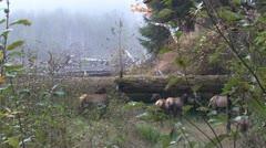 P02355 Elk Herd in Pacific Northwest Rainforest in the Fog Stock Footage