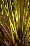 yellow palm tree - stock photo