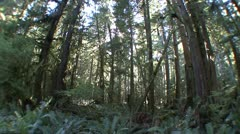 P02357 Old Growth Rain Forest with Fisheye Lens Stock Footage
