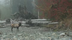 P02358 Bull Roosevelt Elk in Riverbed in the Fall in Northwest Stock Footage