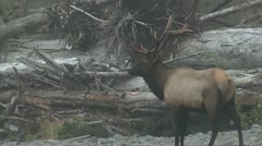 P02359 Bull Elk at Olympic National Park in the Fall Stock Footage