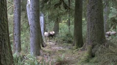 P02361 Elk Herd in Old Growth Forest in Pacific Northwest Stock Footage
