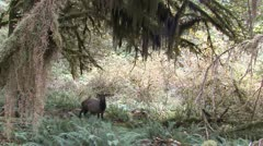 P02362 Elk in Old Growth Forest at Olympic National Park Stock Footage