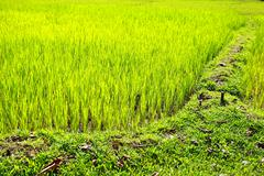 rice paddy's growing up in the organic farms of india - stock photo