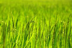 Rice paddy's growing up in the organic farms of india Stock Photos