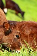 cute calf cow on a rural meadows. - stock photo