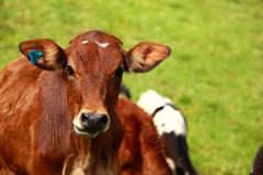 Cute calf cow on a rural meadows. Stock Photos
