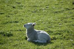 Lamb enjoying the sun. - stock photo