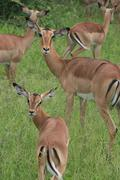 Impala herd in Kruger National Park - stock photo