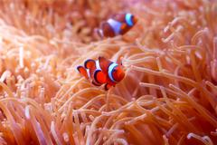 Clownfishes Stock Photos