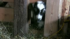 Yin and yang goat Stock Footage