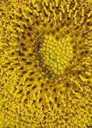 Sunflower detail Stock Photos