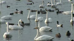 Whooper swans on water amongst other ducks Stock Footage