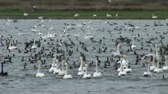 Whooper swans on water Stock Footage