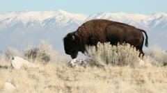 Buffalo Bull Walking Stock Footage