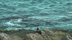 Seal trying to catch seagulls Stock Footage